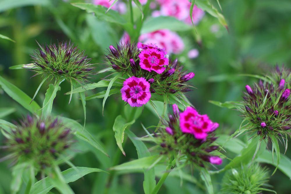 Dianthus barbatus bevorzugt einen sonnigen Standort