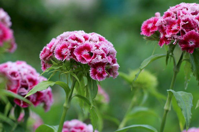 Bartnelken, Dianthus barbatus im Gartenbeet