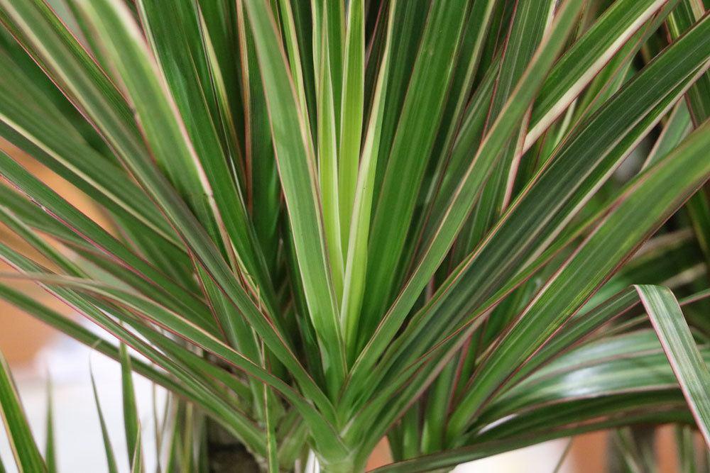 Drachenbaum ist eine pflegeleichte Pflanze