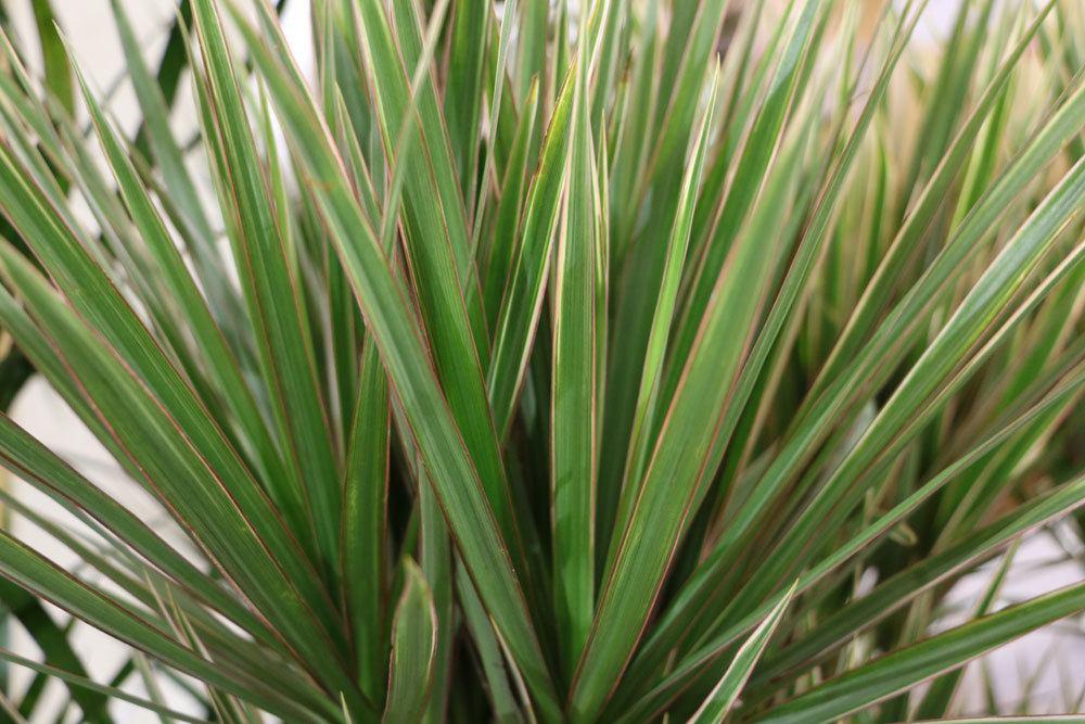 drachenbaum dracaena marginata pflege der beliebten. Black Bedroom Furniture Sets. Home Design Ideas