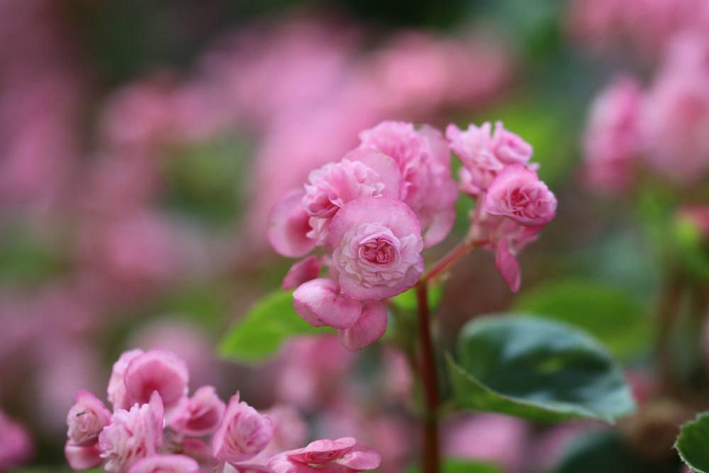 Begonia semperflorens mit zart rosa Blüten