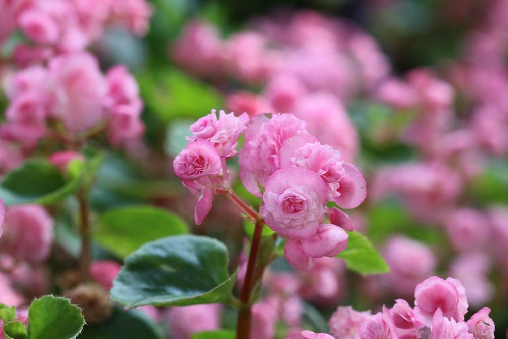 Eisbegonien mit rosa Blütenfarbe