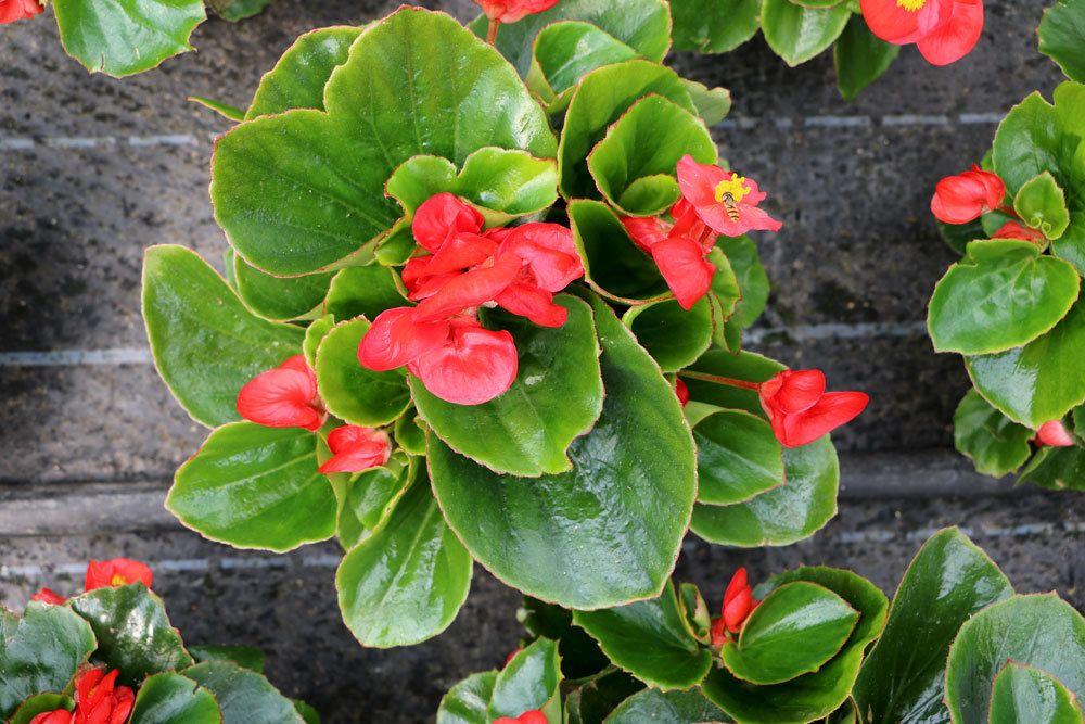 Begonia semperflorens mit roter Blütenfarbe