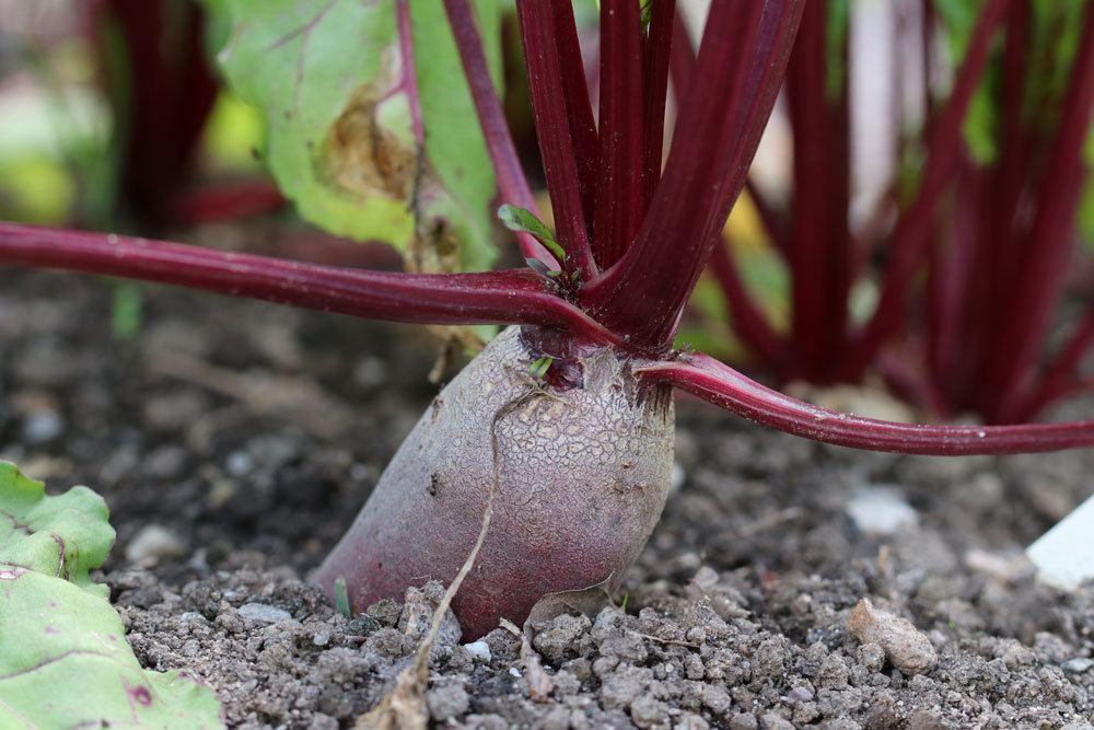Rote Beete gehört zu den ältesten Gemüsesorten