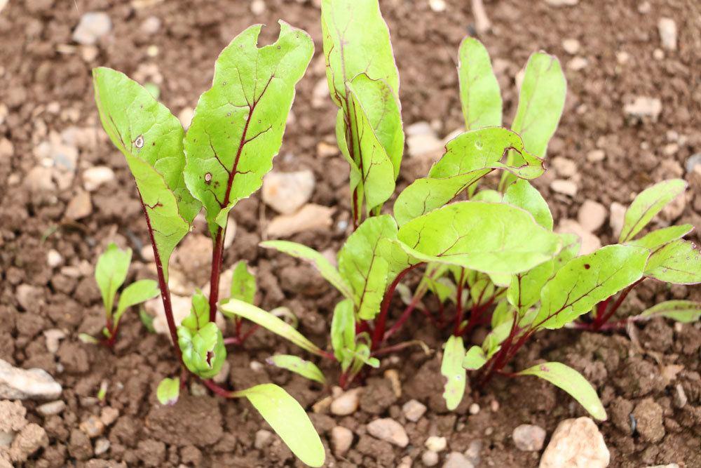 Rote Beete im Gemüsebeet