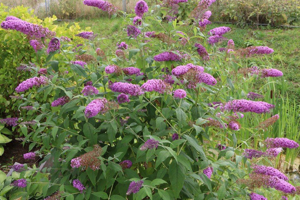 Royal Red Staude Winterfeste Pflanze Buddleja davidii Schmetterlingsflieder