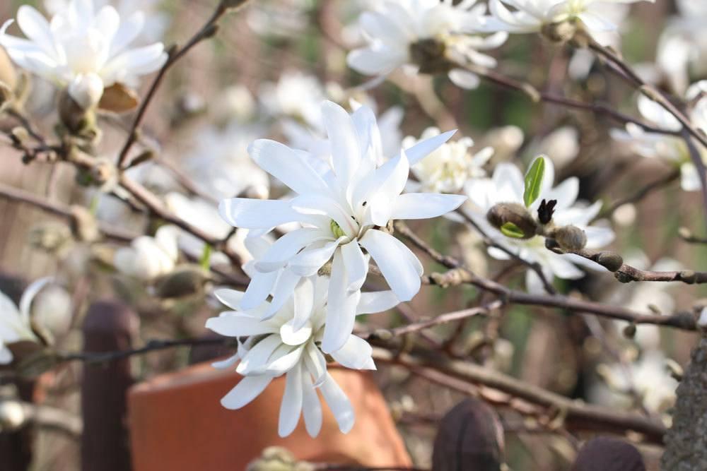 Sternmagnolie 'Waterlily' (Magnolia stellata)