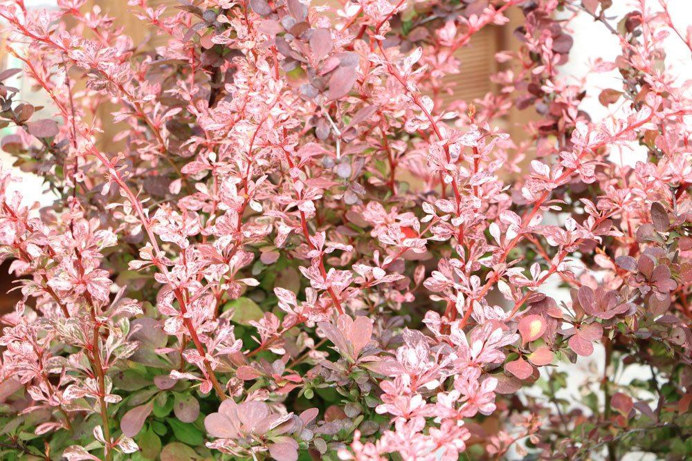 Berberis thunbergii 'Rose Glow'