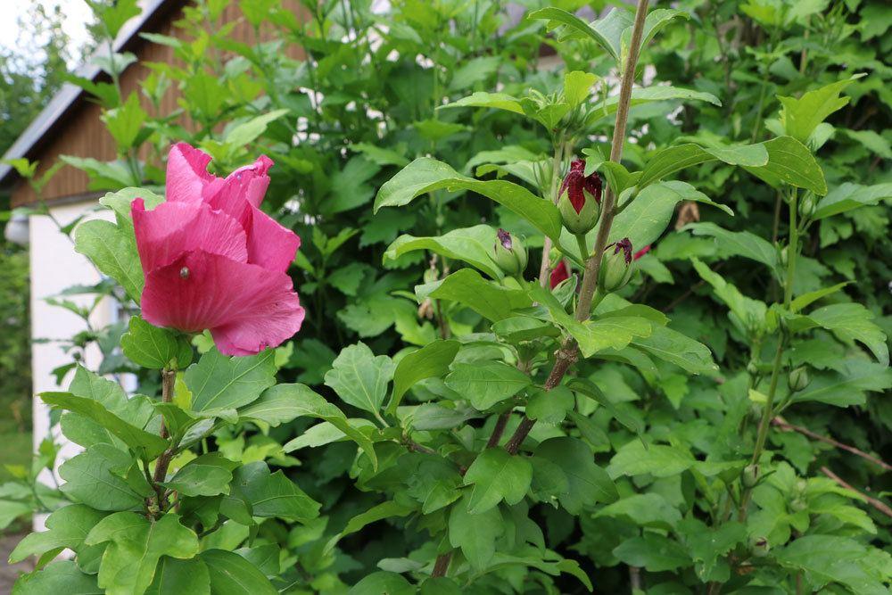 Hibiskusstrauch im Garten