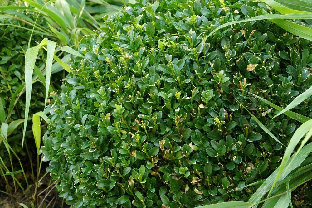 Buchsbaum ist eine beliebte Ziergartenpflanze