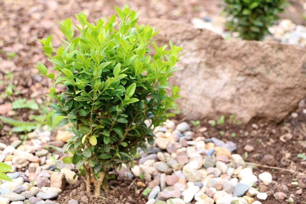 Buchsbaum ist für Mensch und Tier giftig