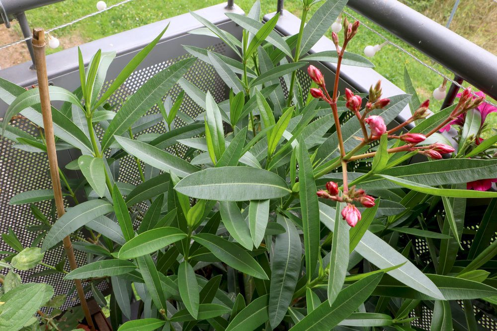Ist Oleander Giftig Für Menschen/Kinder, Sowie Hunde Und