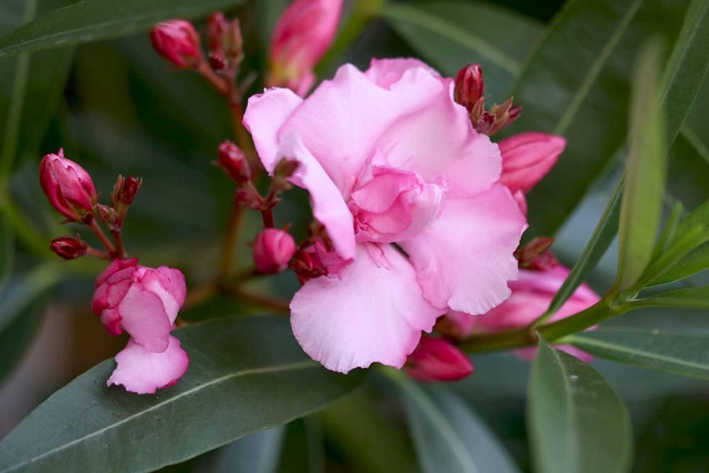 Oleander kann allergische Hautreaktionen hervorrufen