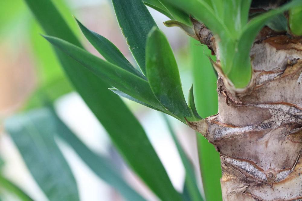 ist die yucca palme winterhart infos zur pflege und berwinterung. Black Bedroom Furniture Sets. Home Design Ideas
