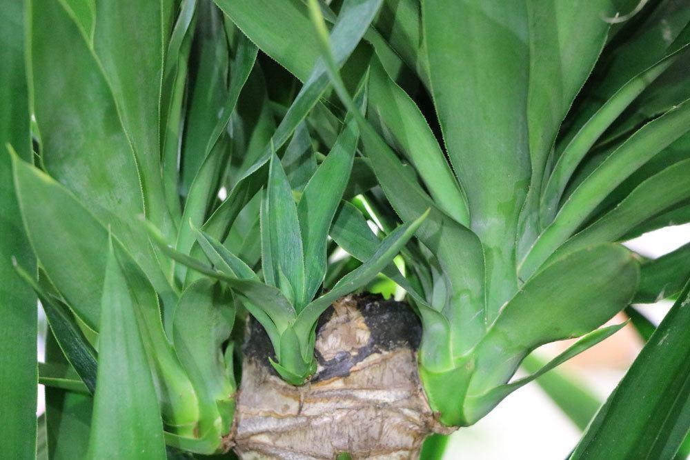 Ist die Yucca Palme winterhart? Infos zur Pflege undÜberwinterung ~ 01222243_Sukkulenten Winterhart Bilder
