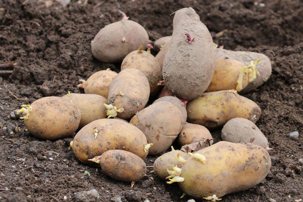 Kartoffelernte, wann ist der beste Zeitpunkt dafür