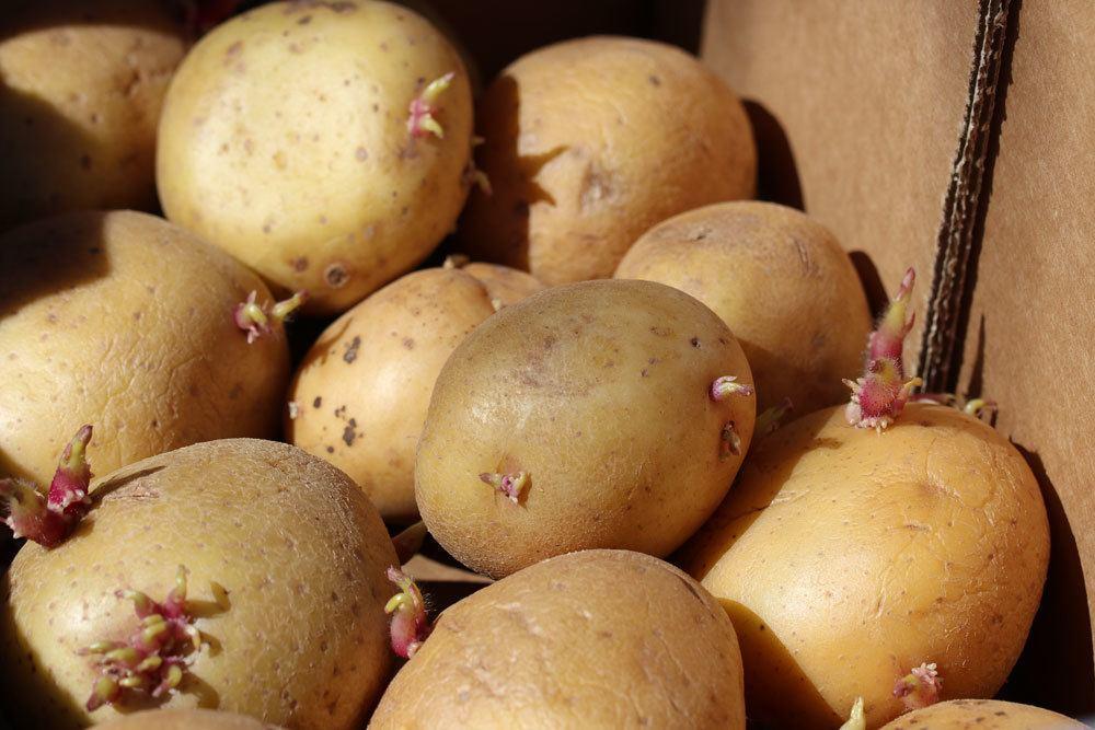 Kartoffeln richtig einlagern