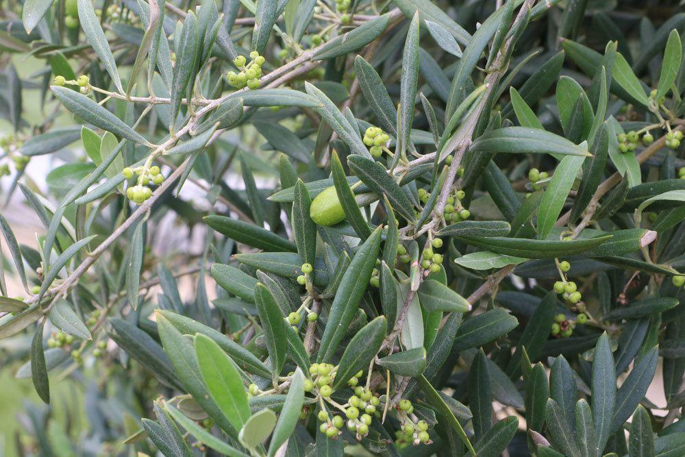 Wann Süßkartoffeln Ernten : oliven ernten wann fr chte am olivenbaum reif zur ernte sind ~ Buech-reservation.com Haus und Dekorationen