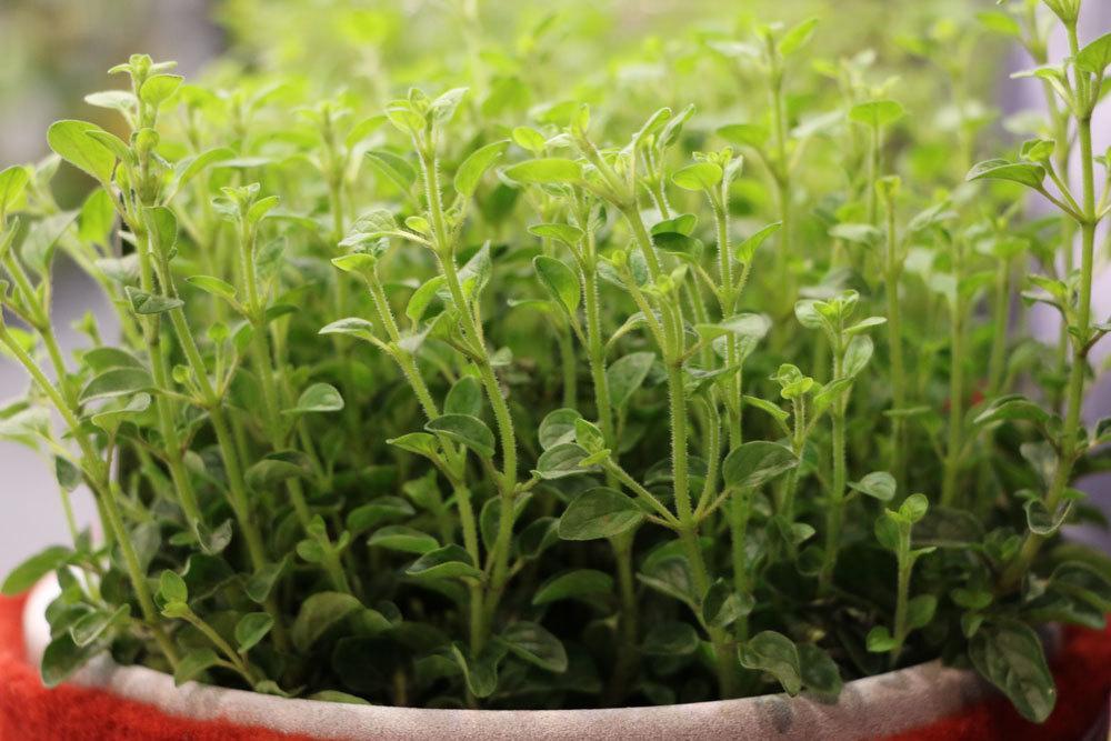 vom Oregano können Blätter und Blüten genutzt werden