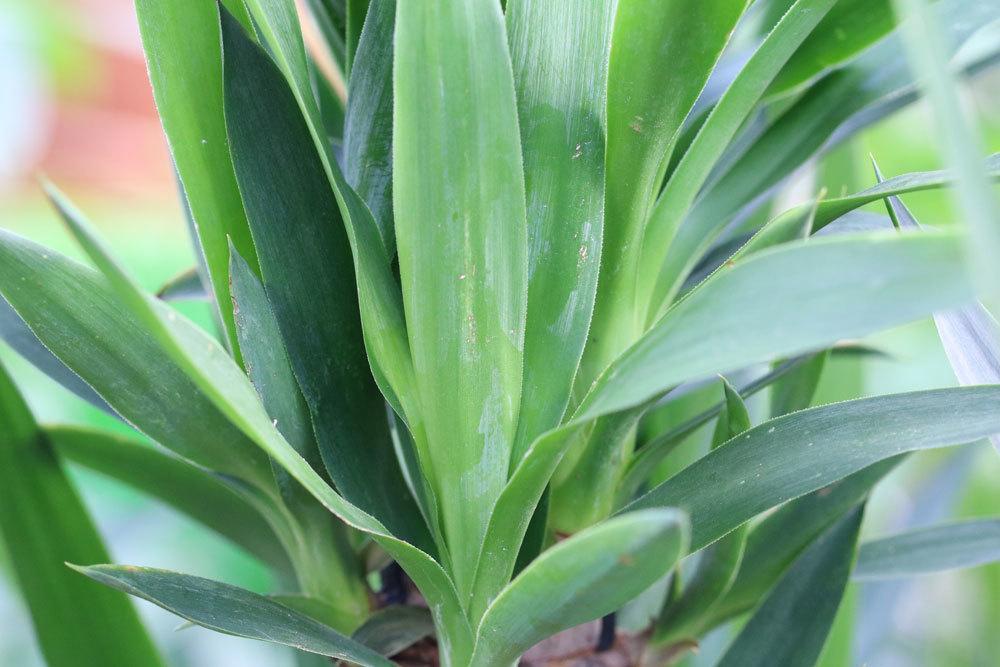 Palmlilie braucht die richtige Pflege