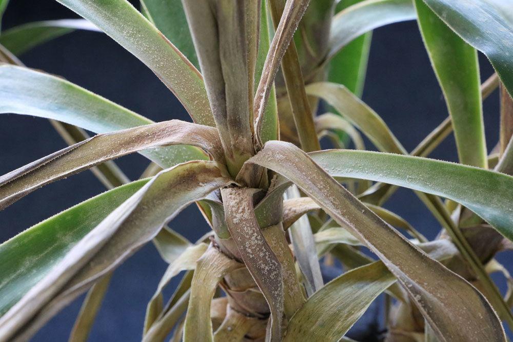 Palmlilie mit Krankheitsbild