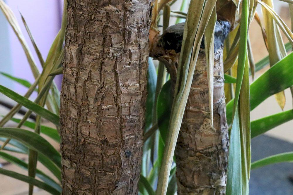 Palmlilie hat gelbe Blätter
