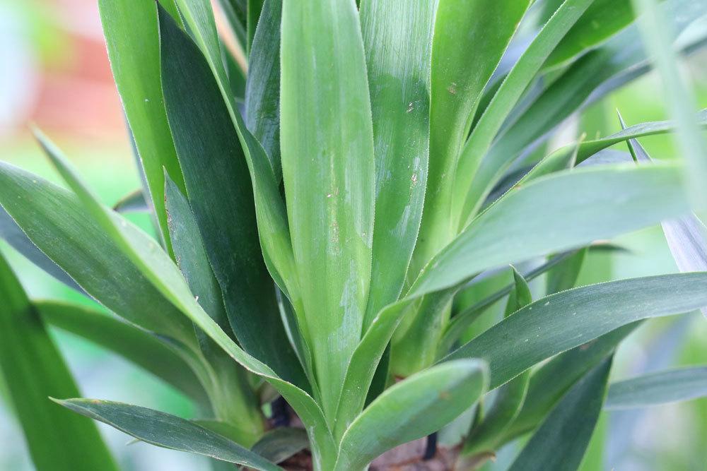riesen palmlilie yucca elephantipes pflege der beliebten zimmerpflanze. Black Bedroom Furniture Sets. Home Design Ideas