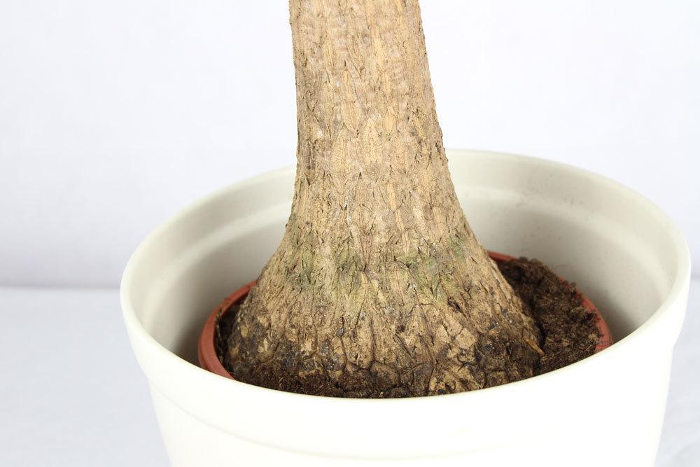 Riesen-Palmlilie ist eine beliebte Zimmerpflanze