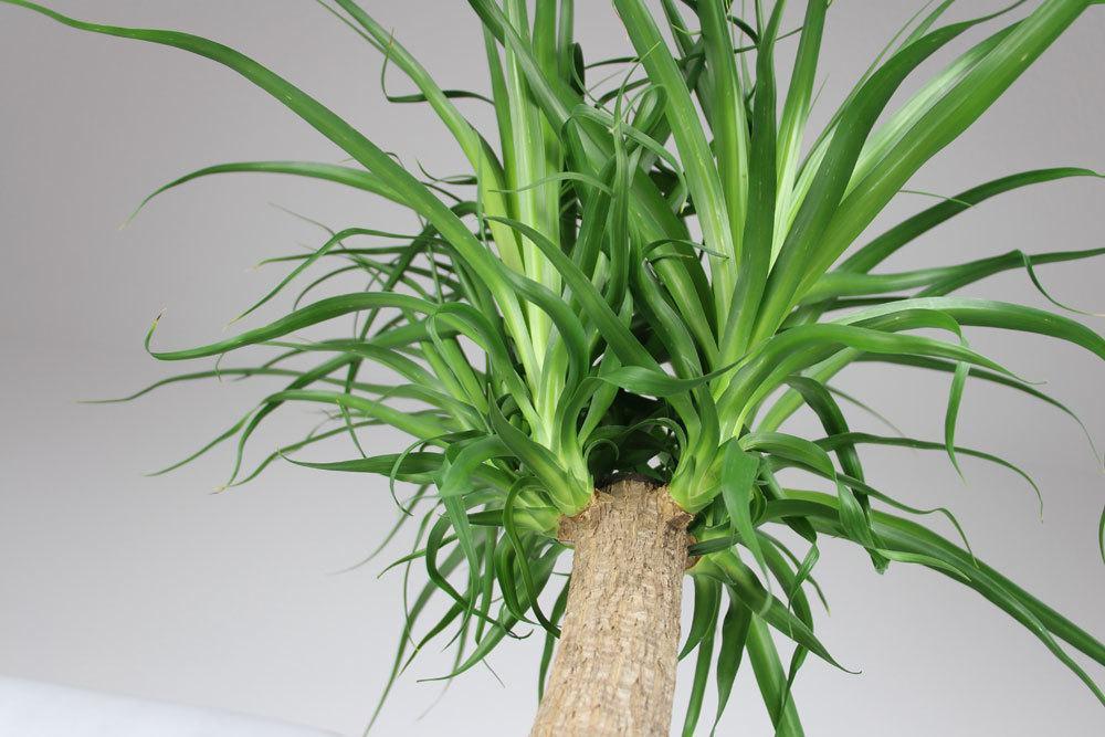 Riesen-Palmlilie ist ein Agavengewächs