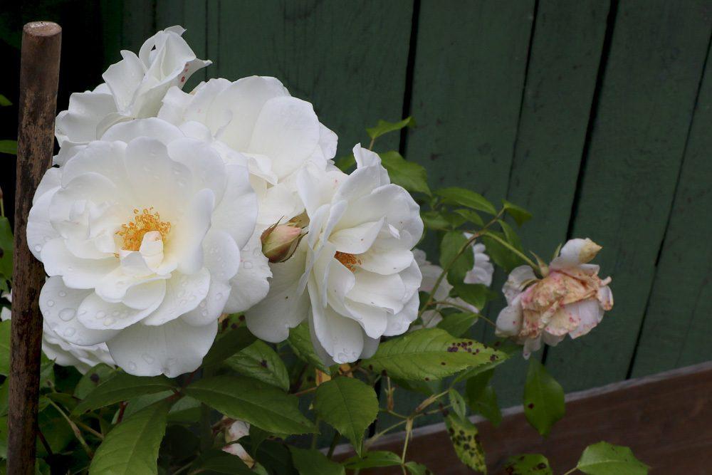 verschiedene Rosensorten brauchen verschiedene Rückschnitte