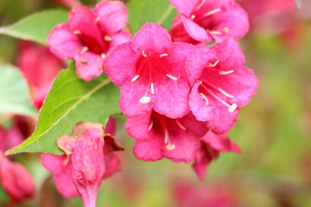 Weigelie mit glockenförmigen Blüten