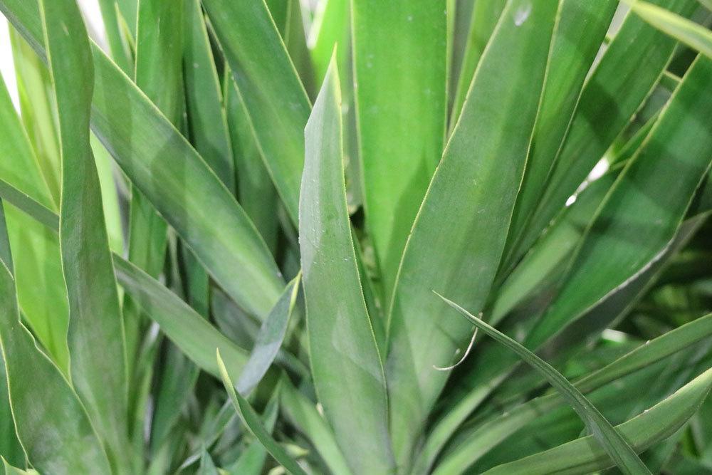 Yucca-Palme mit ihren spitz zulaufenden Blättern