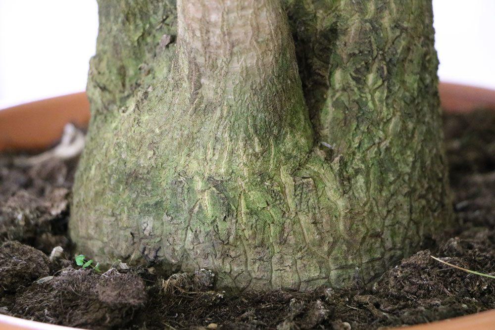 Yucca-Palme kann von Stammfäule betroffen sein