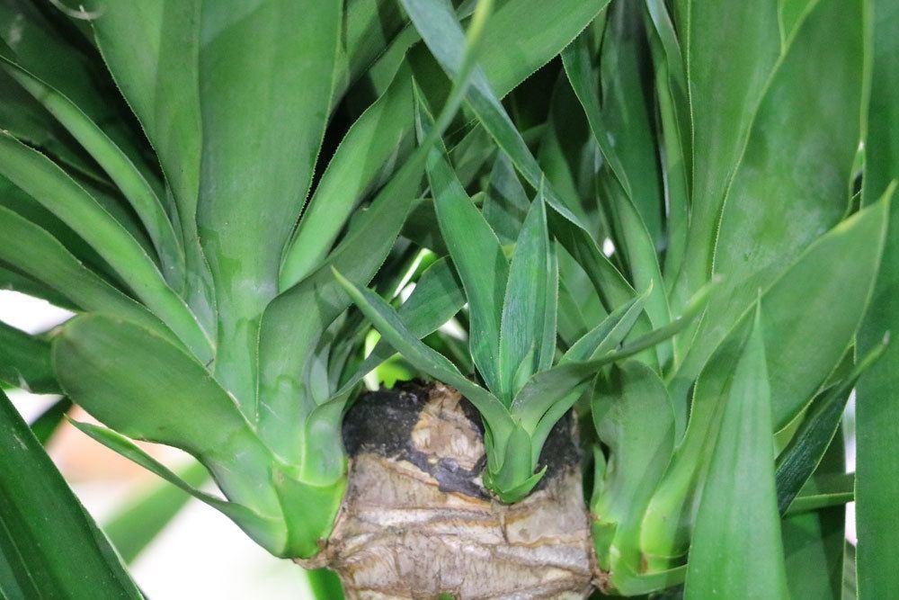 Yucca-Palme auch Palmlilie richtig pflegen