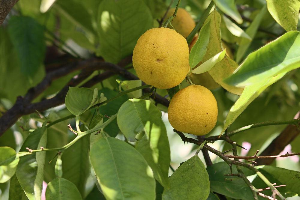 Zitronenbaum zum richtigen Zeitpunkt Einwintern