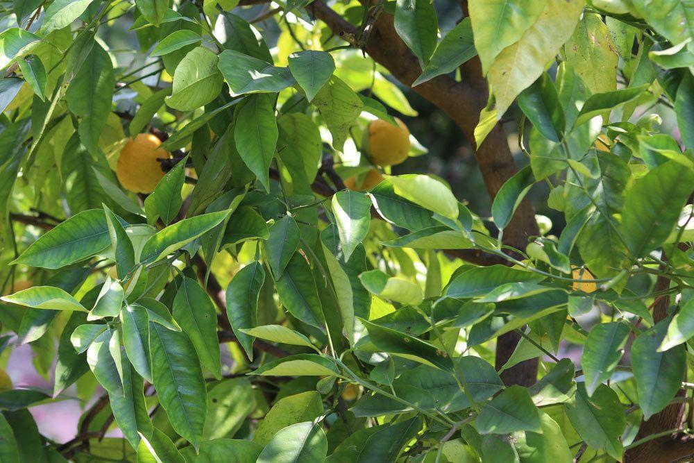 Zitronenbaum im Freien überwintern lassen