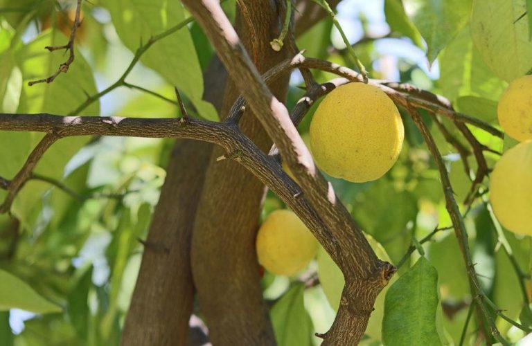 Zitronenbaum richtig überwintern