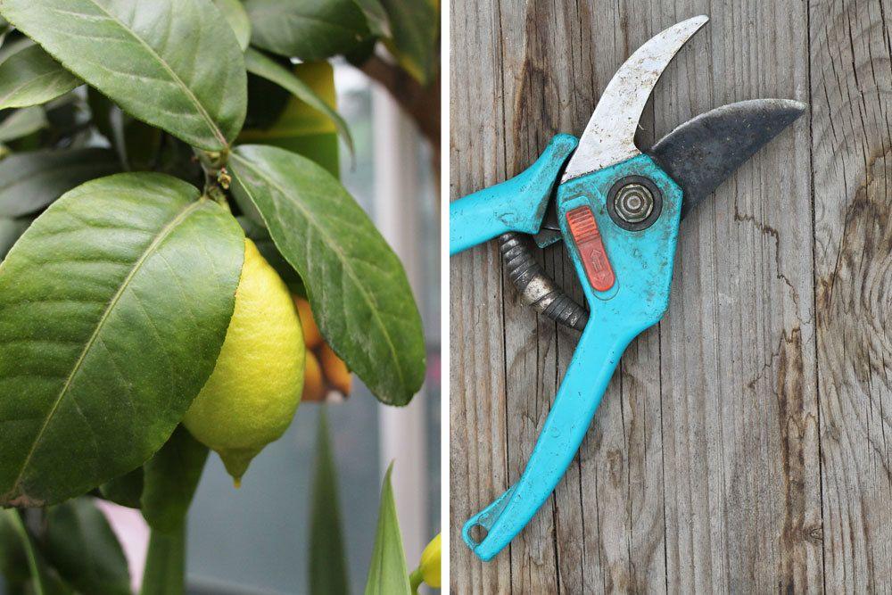 Zitronenbaum mit dem richtigen Werkzeug verschneiden