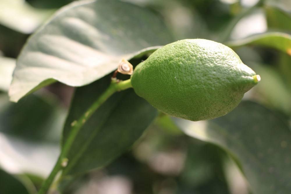 grüne Zitronenfrucht am Zitronenbaum
