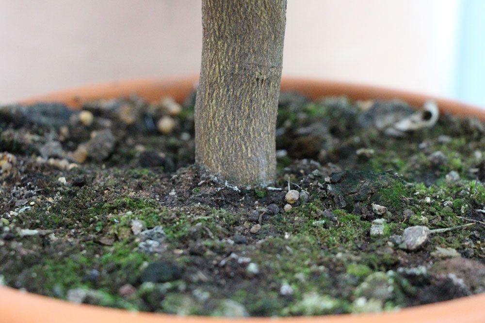 Zitronenbaumstämmchen im Substrat