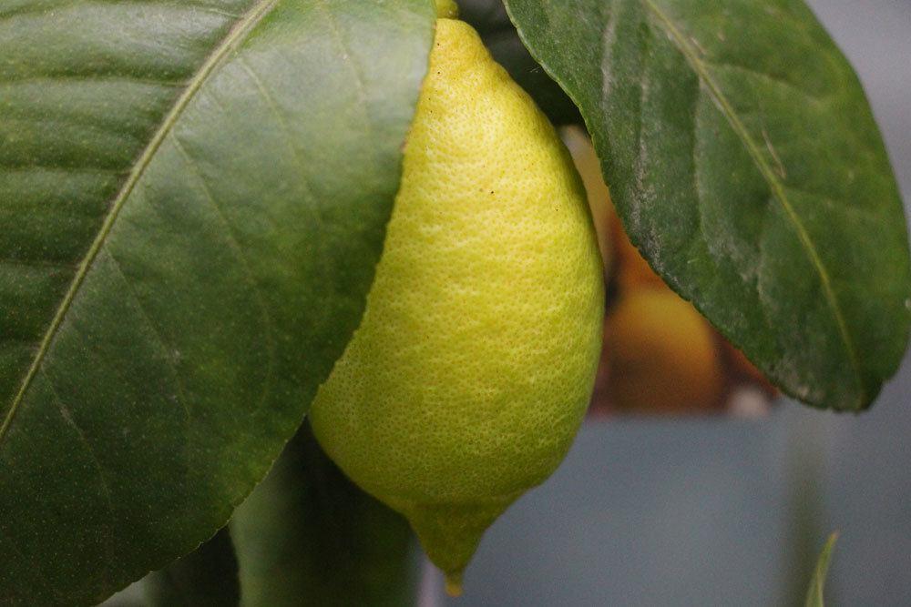 gelbe Zitronenfrucht am Zitronenbaum