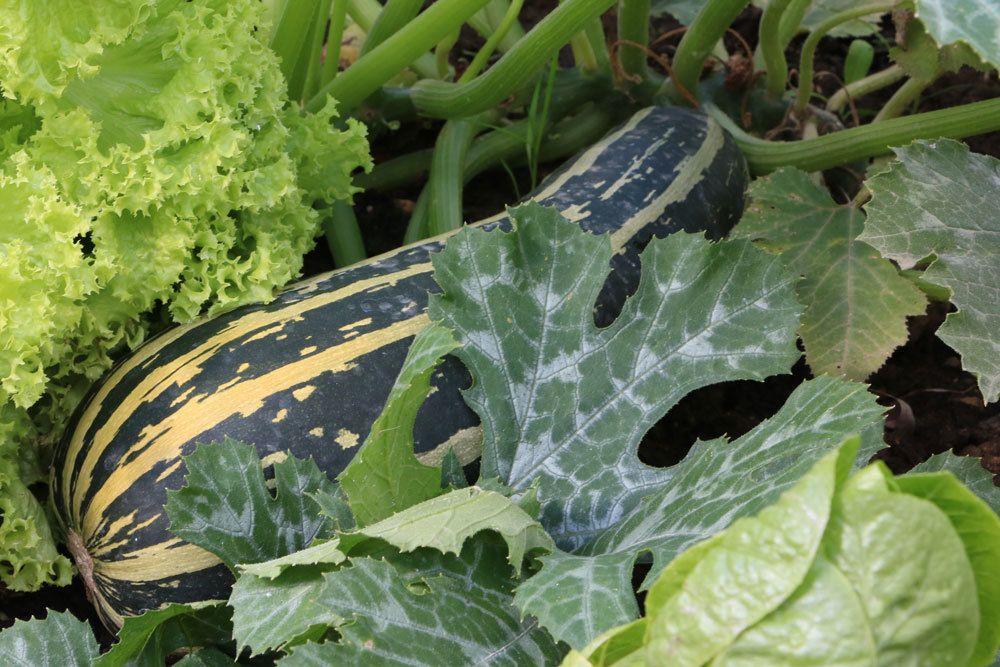 Zucchini wird zu den Gartenkürbissen gezählt