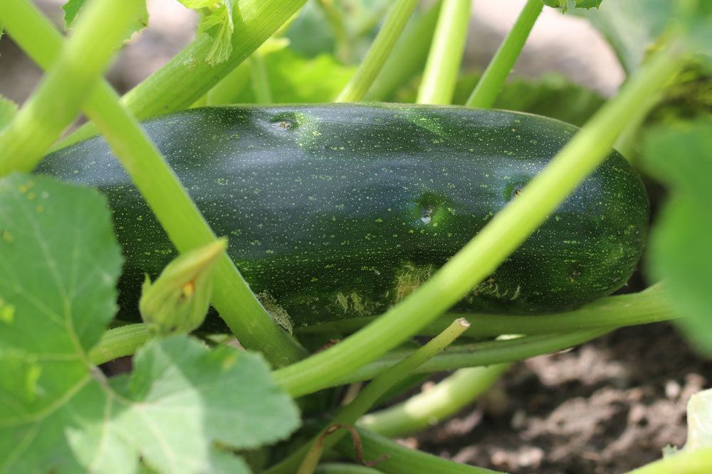 gesunde Zucchini an einer Zucchini-Pflanze