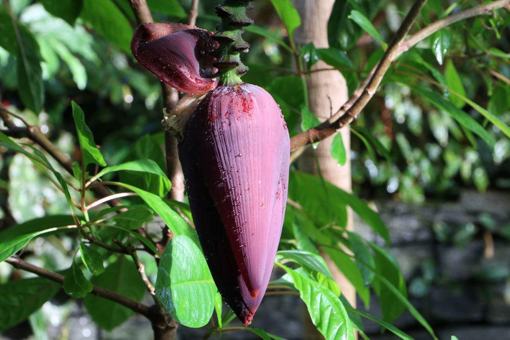 geschlossene Bananenbaumblüte