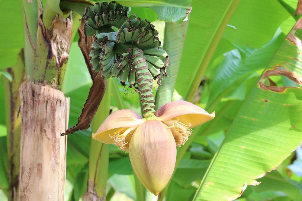 Bananenbaum mit einem Hauch von Exotik