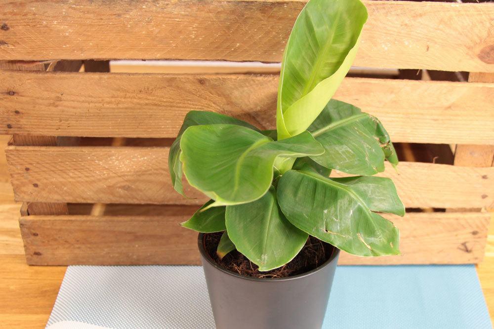Bananenbaum als Zimmerpflanze