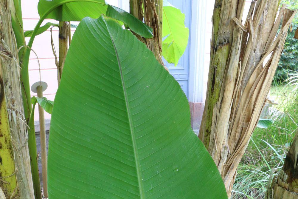 Blattspitze eines Bananenbaumblattes