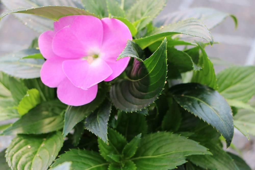 Fleißiges Lieschen mit rosa Blütenfarbe