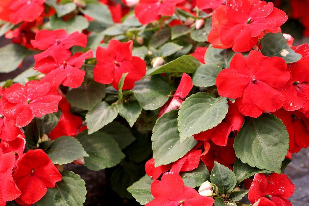 Fleißiges Lieschen mit roten Blüten