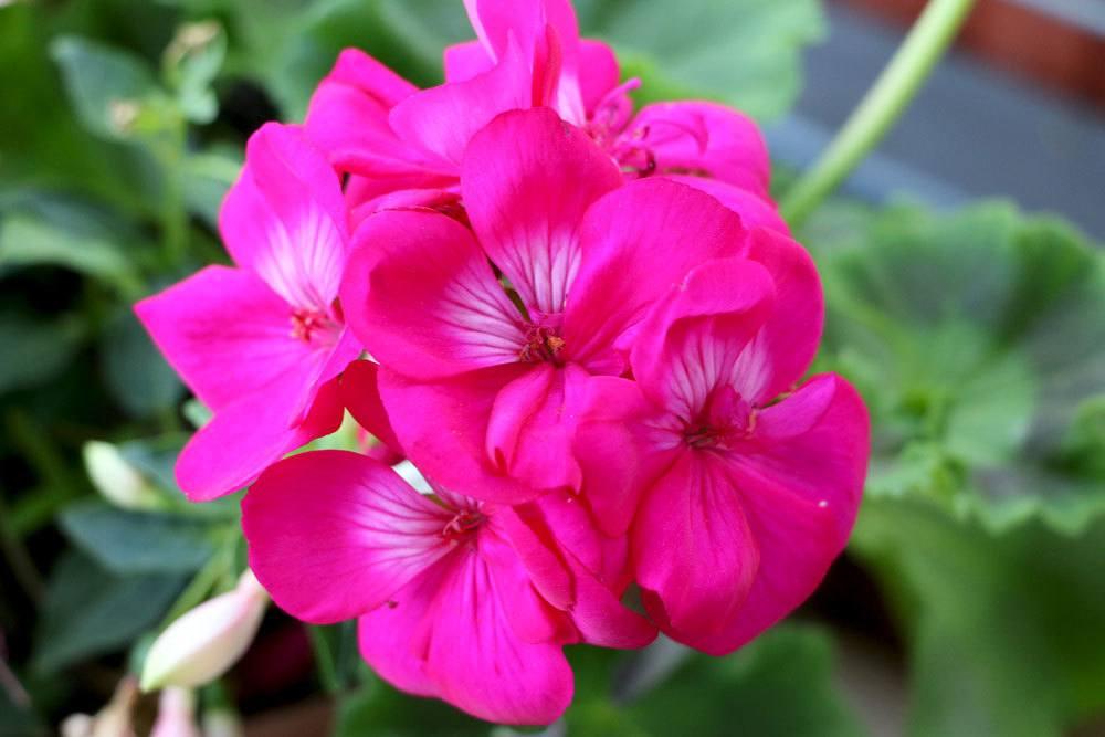 Geranie mit pinkfarbenen Blüten
